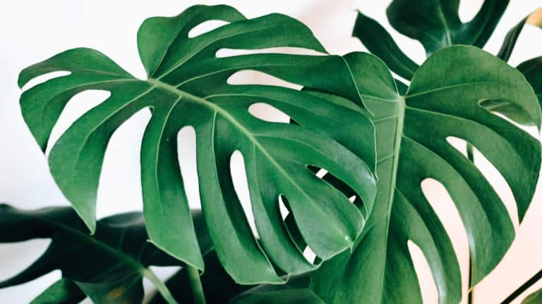 monstera-malaysian-plants-that-can-survive-the-weather